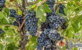 Tiểu vùng Salento - Quê hương của những giống nho sản xuất vang nổi tiếng tại Ý