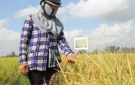 Cách nào chặn đà giảm giá lúa gạo?