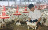 Giá gà rẻ bèo, nguy cơ xóa sổ nhiều trang trại