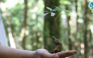 Đâu là phương pháp bảo tồn và phát triển sâm Ngọc Linh hiệu quả nhất