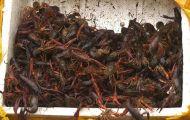 Gần một tấn tôm hùm đất nhập lậu bị phát hiện tại Lào Cai
