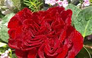 Vẻ đẹp kiêu sa của loài hoa hồng Ecuador