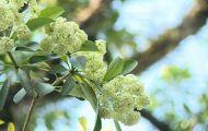 Hoa sữa, cúc họa mi và những loài hoa gọi mùa thu về trên đất thủ đô