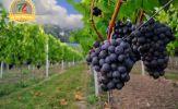 T Malvasia Nera Salento – Dòng vang đỏ đầy quyến rũ đến từ nước Ý