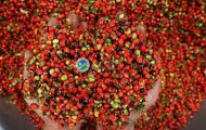 Hạt giống sâm Ngọc Linh cam kết chuẩn chất lượng 100%