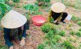Nông dân Lệ Thủy thu hoạch nén củ