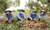 Cùng nông dân livestream bán vải thiều
