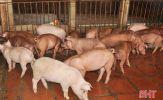 Tự chủ con giống – xu hướng tiết kiệm chi phí chăn nuôi của nông dân Hà Tĩnh